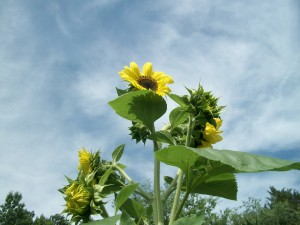 Crafty Gardening With the Little Ones:  Being Creative with Sunflowers